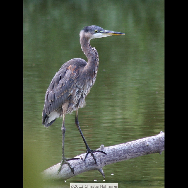 Baby               Great<br/>Blue Heron 1
