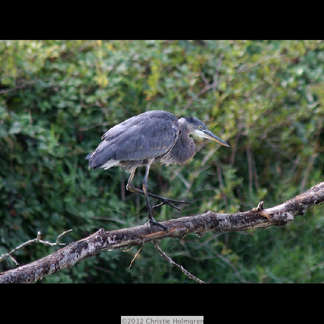 Baby               Great<br/>Blue Heron 2