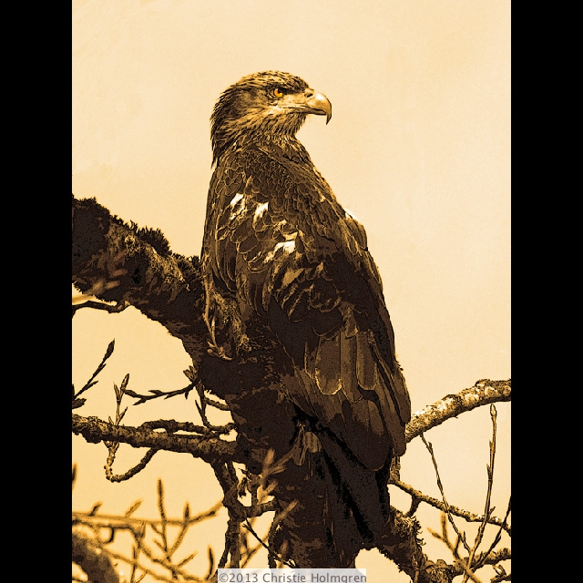 Bald<br/>Eagle 1<br/>Sepia