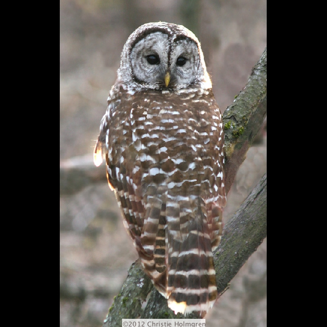 Barred<br/>Owl