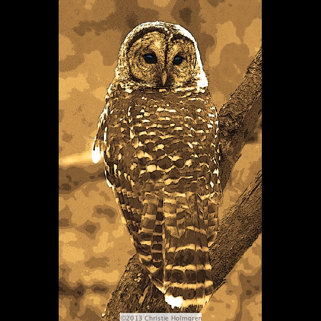 Barred<br/>Owl<br/>Sepia