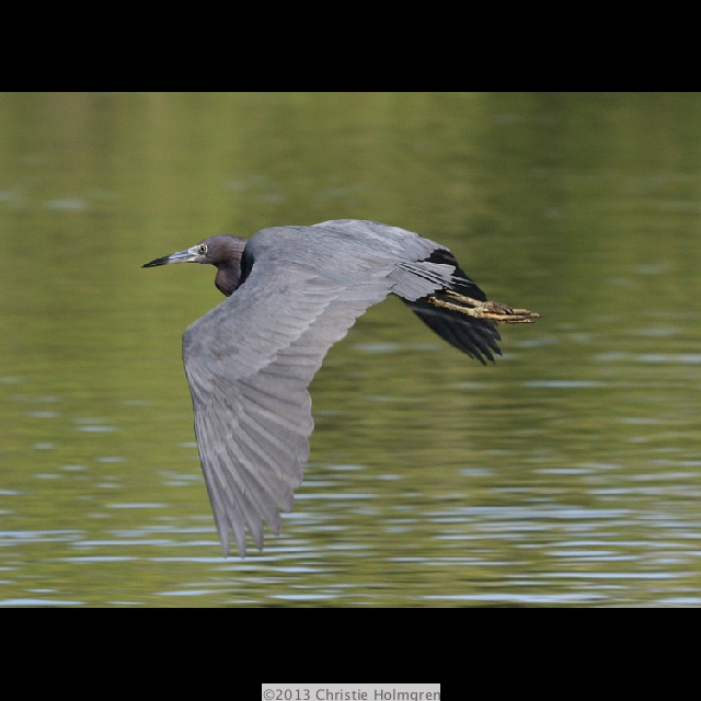 Little<br/>Blue<br/>Heron 1