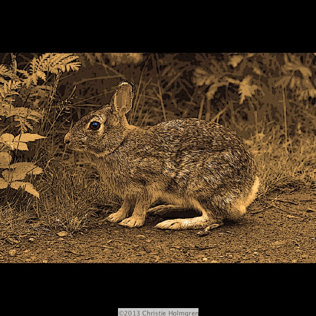 Eastern<br/>Cottontail<br/>Sepia