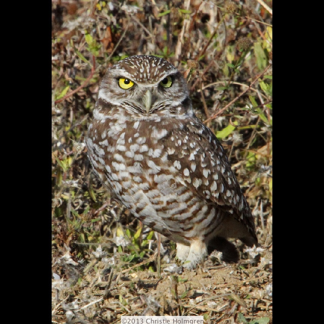 Burrowing<br/>Owl