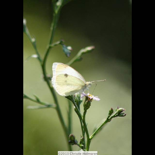 White<br/>Butterfly