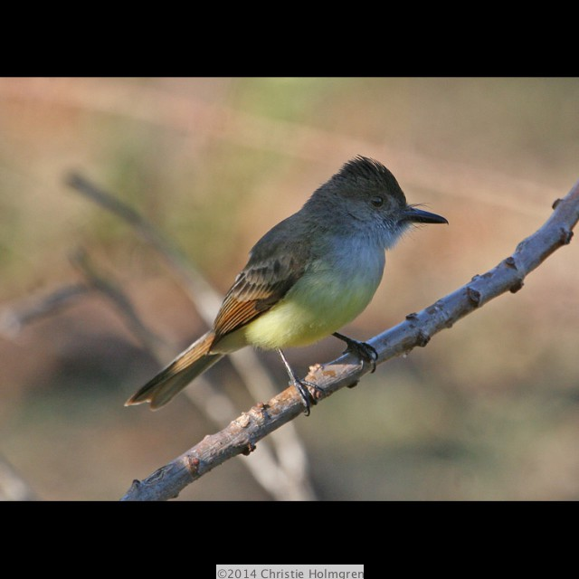 Dusky<br/>Capped<br/>Flycatcher