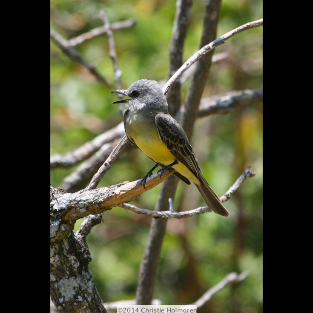 Gray<br/>Capped<br/>Flycatcher
