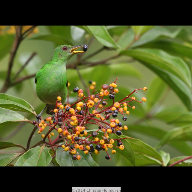 Green<br/>Honeycreeper<br/>Female