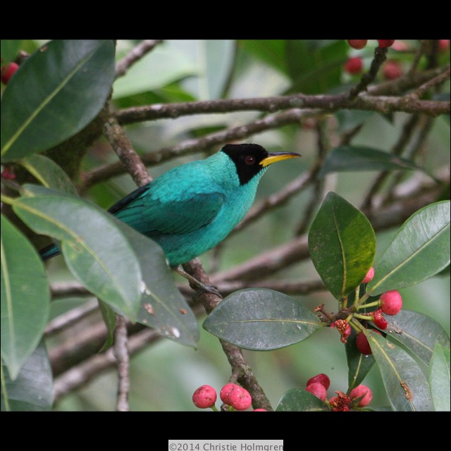 Green<br/>Honeycreeper<br/>Male