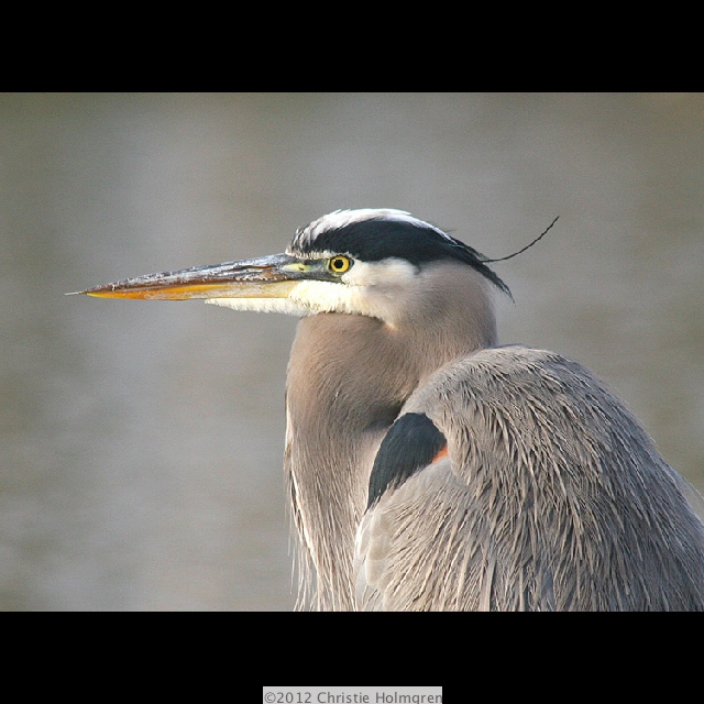 Great<br/>Blue<br/>Heron 1