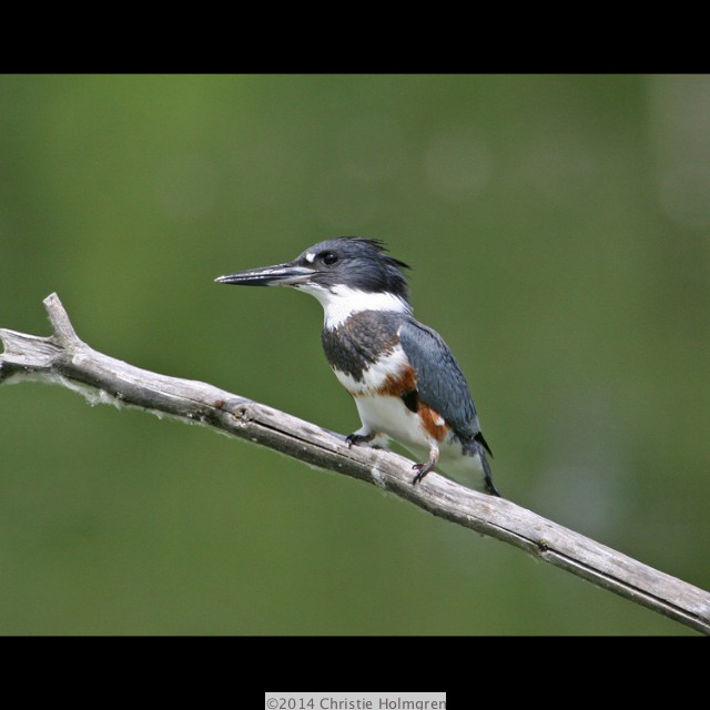Belted<br/>Kingfisher 1