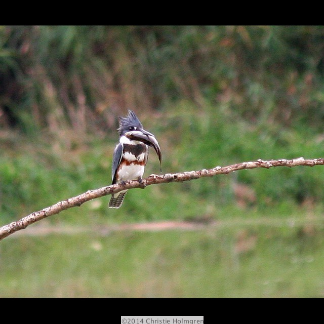 Belted<br/>Kingfisher 2