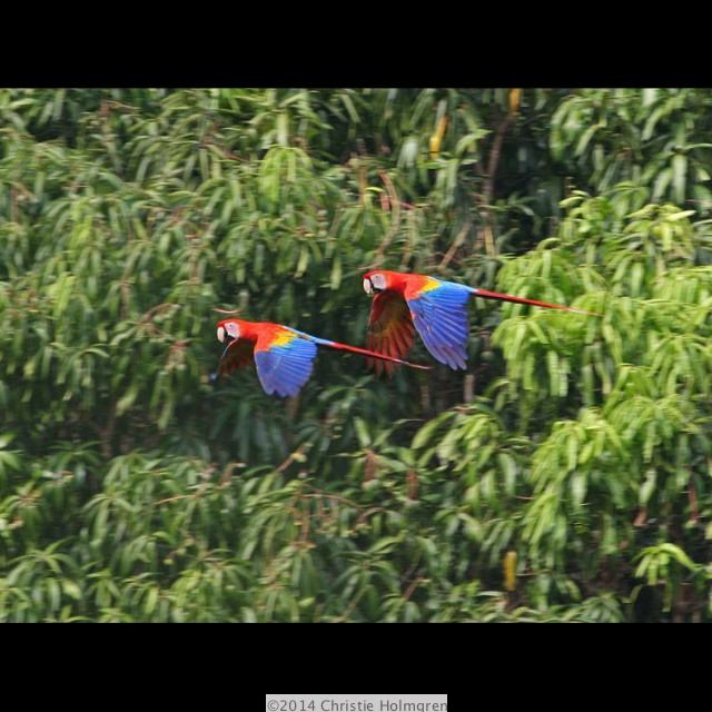 Scarlet<br/>Macaws 2