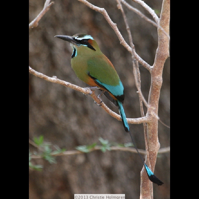 Turquoise<br/>Browed<br/>Motmot