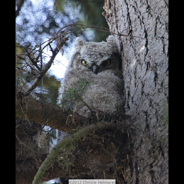 Great<br/>Horned<br/>Owlet