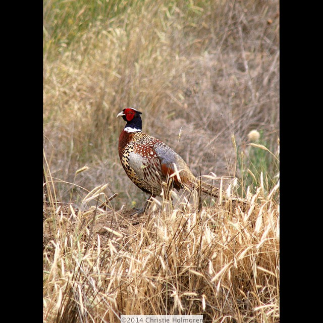 Ring<br/>Necked<br/>Pheasant