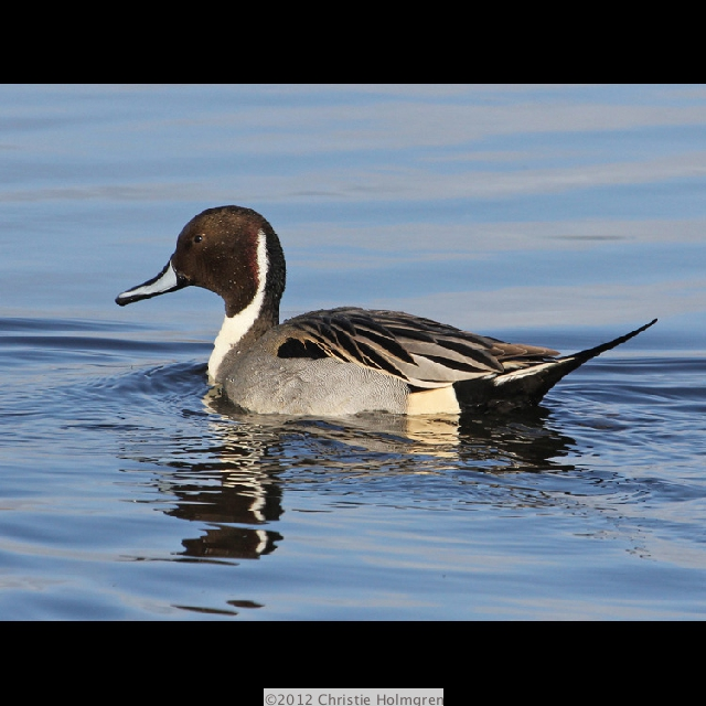 Northern<br/>Pintail 2