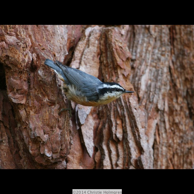 Red<br/>Breasted<br/>Nuthatch