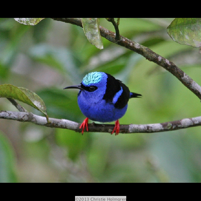 Red<br/>Legged<br/>Honeycreeper