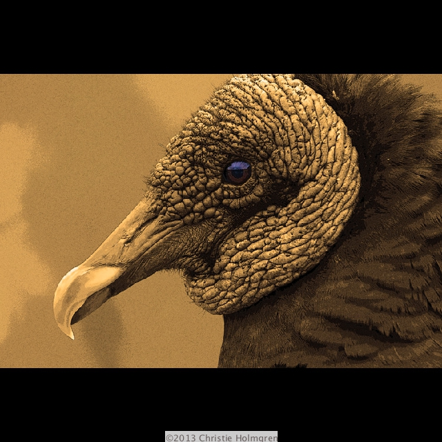 Black<br/>Vulture<br/>Sepia