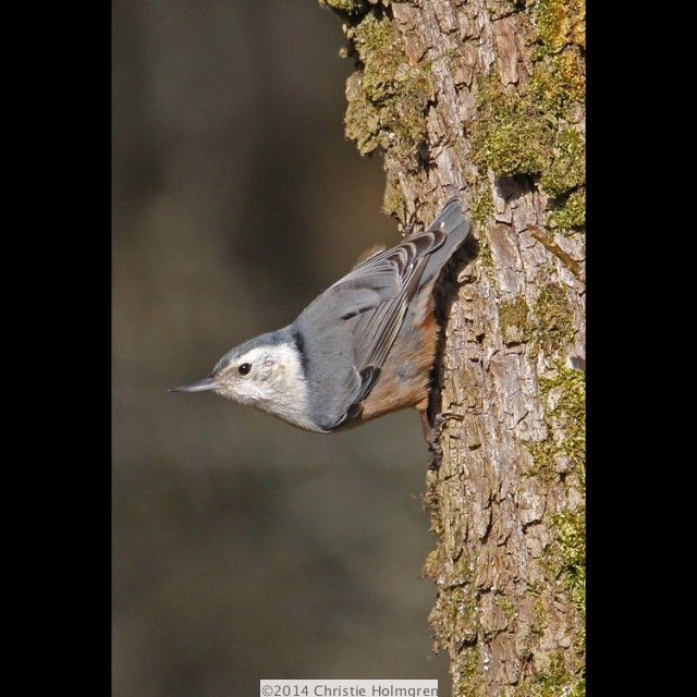 White<br/>Breasted<br/>Nuthatch 2