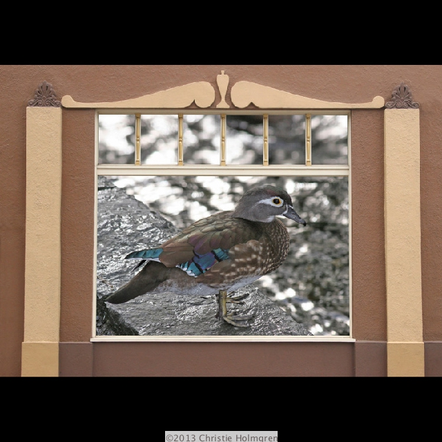 Female<br/>Wood Duck<br/>in Window