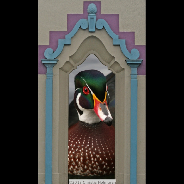 Male<br/>Wood Duck<br/>in Window