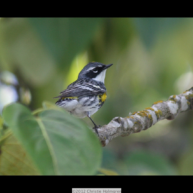 Yellow<br/>Rumped<br/>Warbler