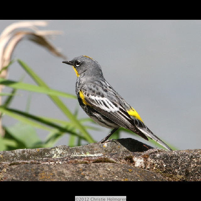 Yellow<br/>Rumped<br/>Warbler 3