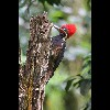 Lineated<br/>Woodpecker<br/>1