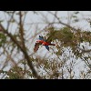 Scarlet<br/>Macaws 1