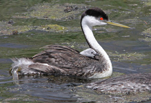 Grebes Gallery